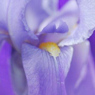 Purple Garden | Iris
